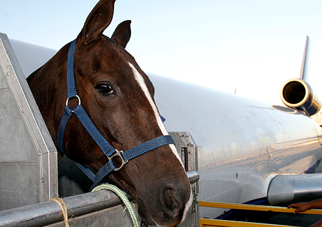 Horse shipped on air cargo plane
