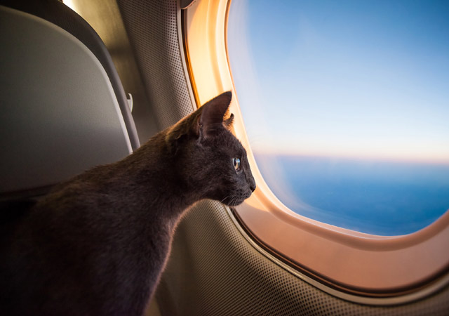 Cat on private jet